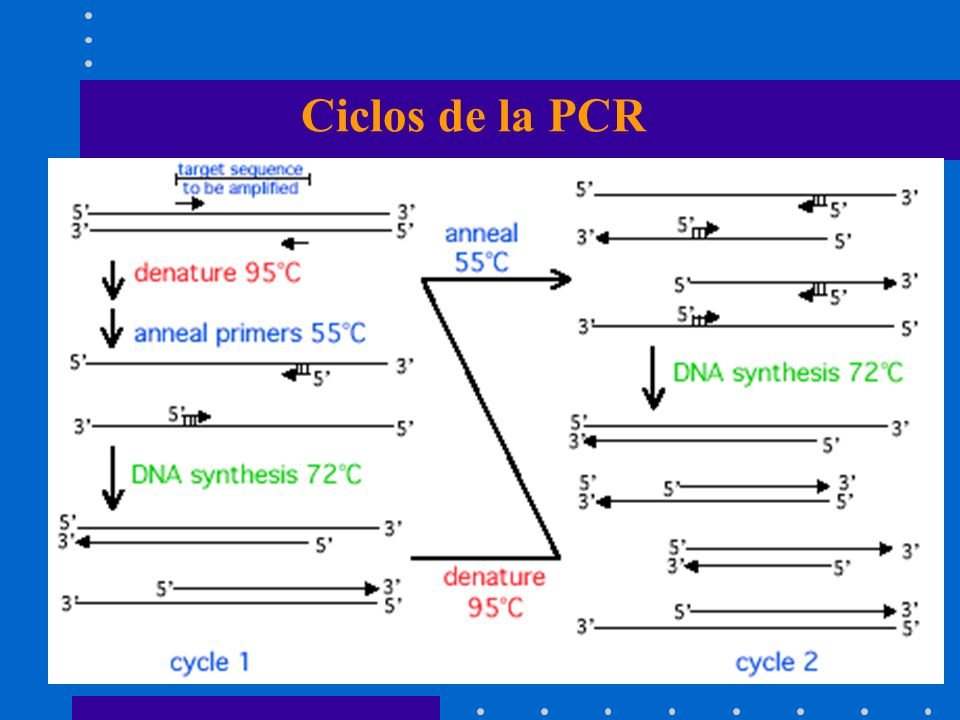 Ciclos de la PCR