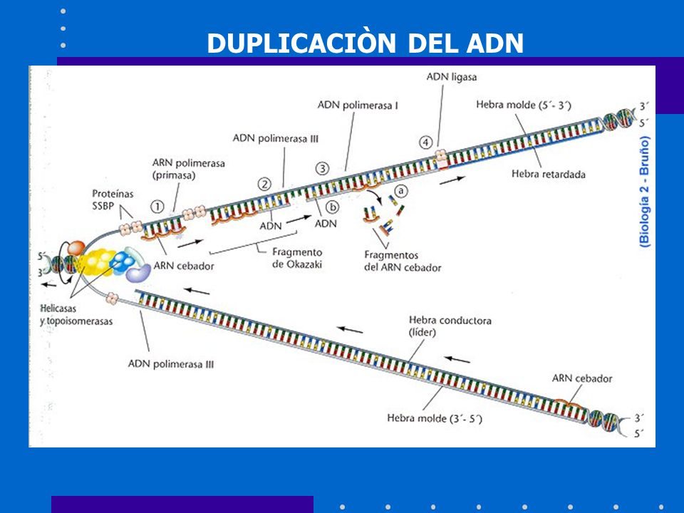 DUPLICACIÒN DEL ADN