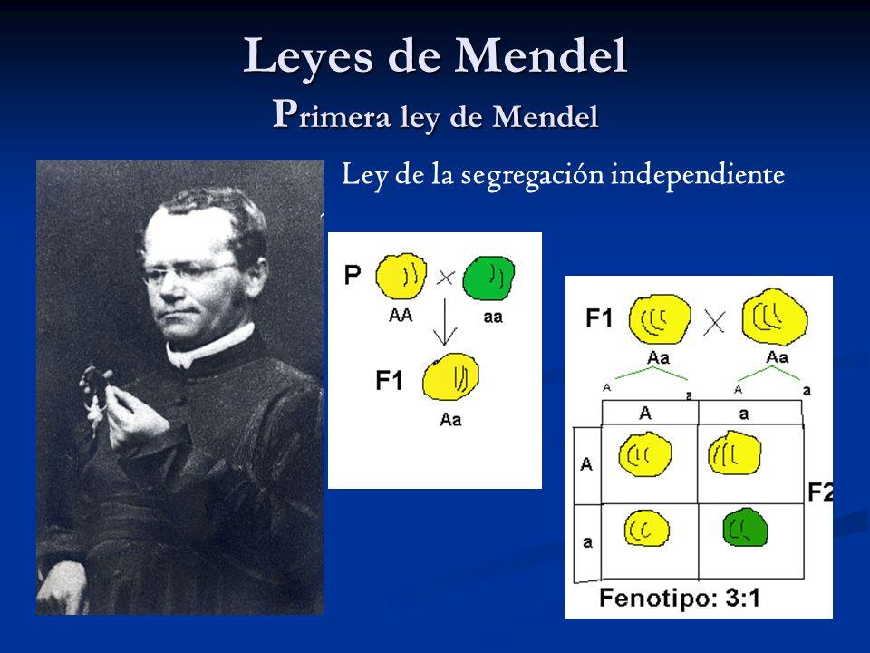 Leyes de Mendel Primera ley de Mendel