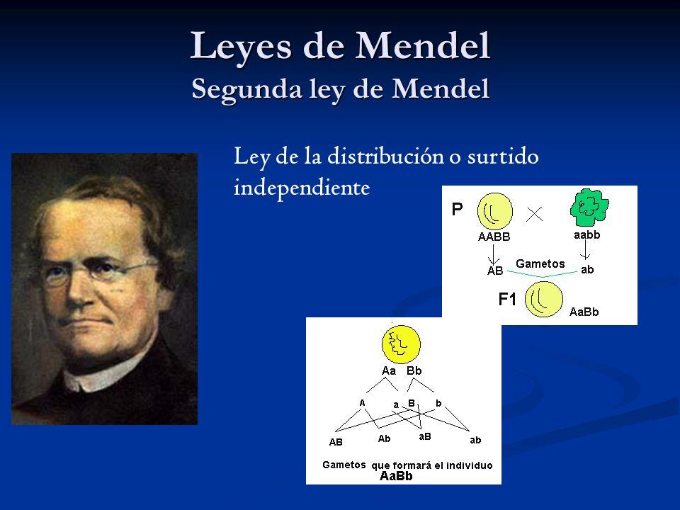 Leyes de Mendel Segunda ley de Mendel
