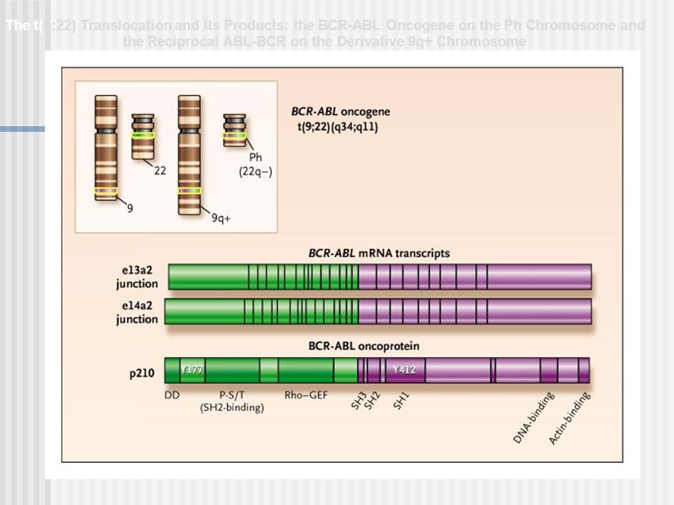 The t(9;22) Translocation and Its Products: the BCR-ABL Oncogene on the Ph Chromosome and the Reciprocal ABL-BCR on the Derivative 9q+ Chromosome