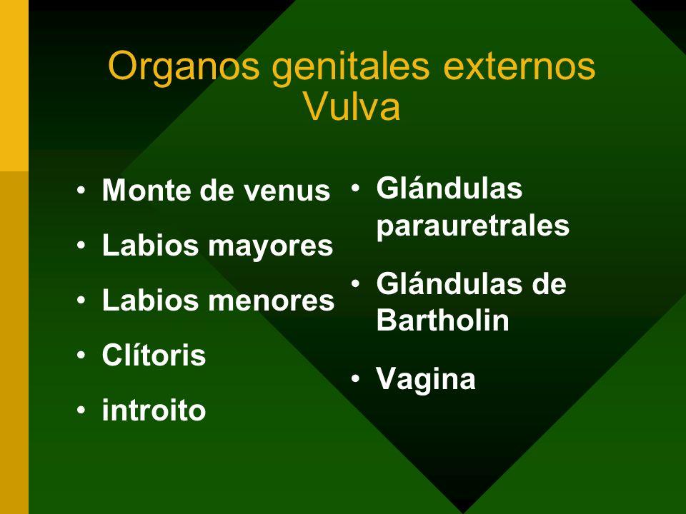Organos genitales externos Vulva
