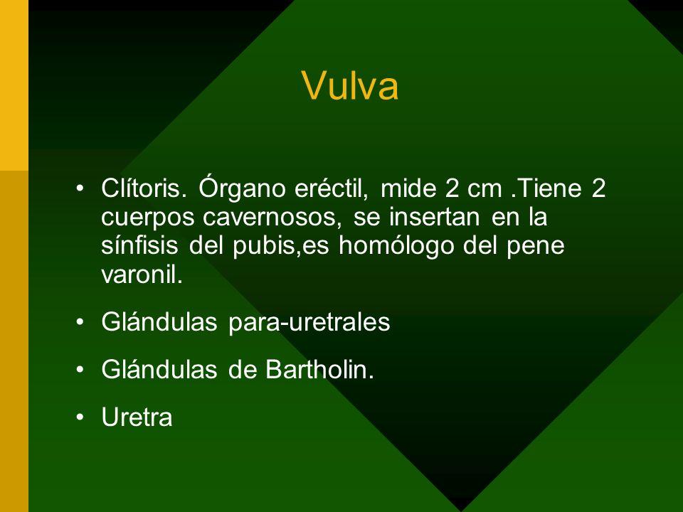 Vulva Clítoris. Órgano eréctil, mide 2 cm .Tiene 2 cuerpos cavernosos, se insertan en la sínfisis del pubis,es homólogo del pene varonil.