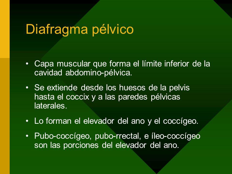 Diafragma pélvico Capa muscular que forma el límite inferior de la cavidad abdomino-pélvica.