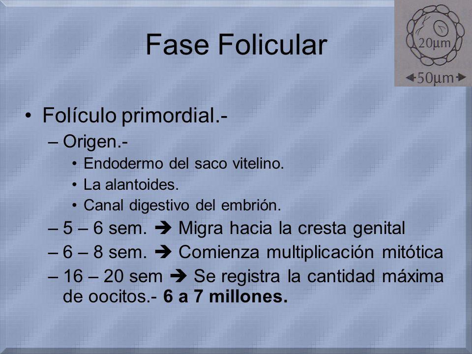 Fase Folicular Folículo primordial.- Origen.-