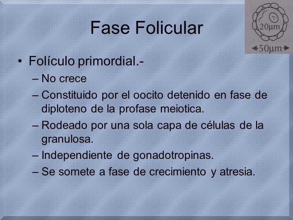 Fase Folicular Folículo primordial.- No crece