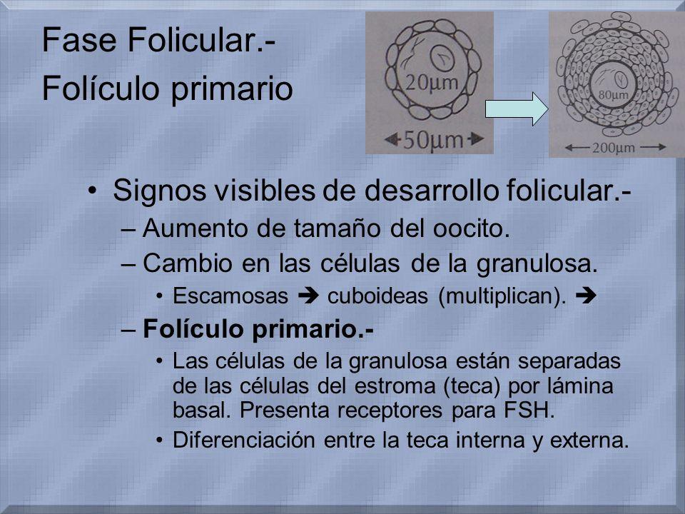 Fase Folicular.- Folículo primario