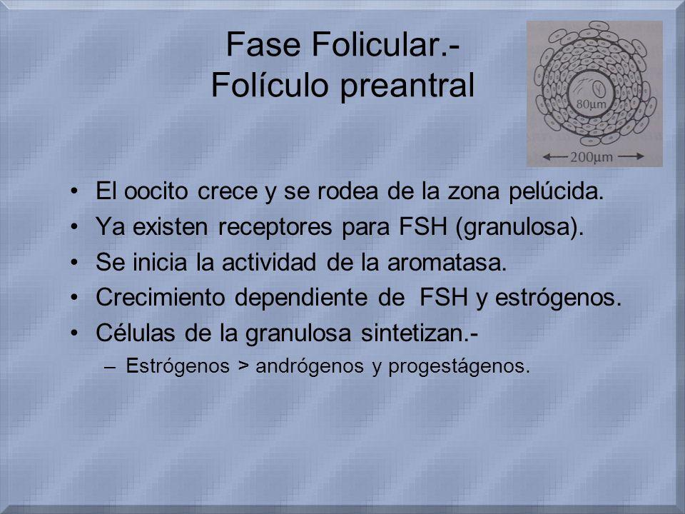 Fase Folicular.- Folículo preantral
