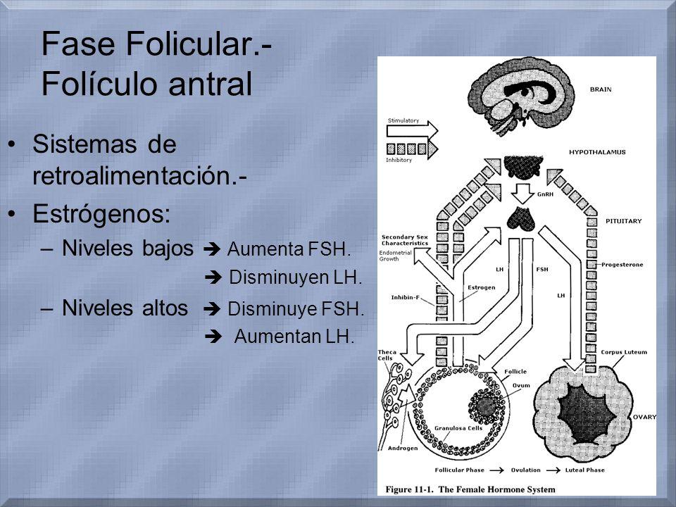 Fase Folicular.- Folículo antral