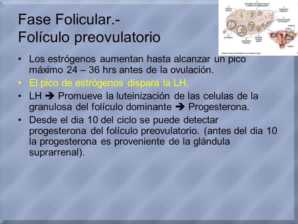 Fase Folicular.- Folículo preovulatorio