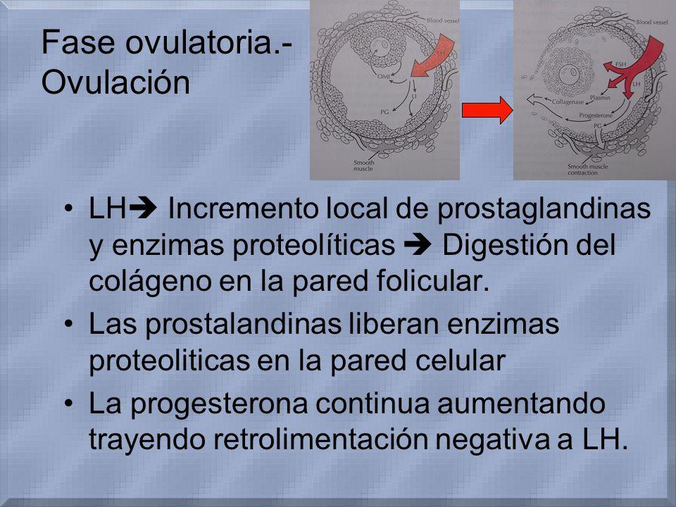 Fase ovulatoria.- Ovulación