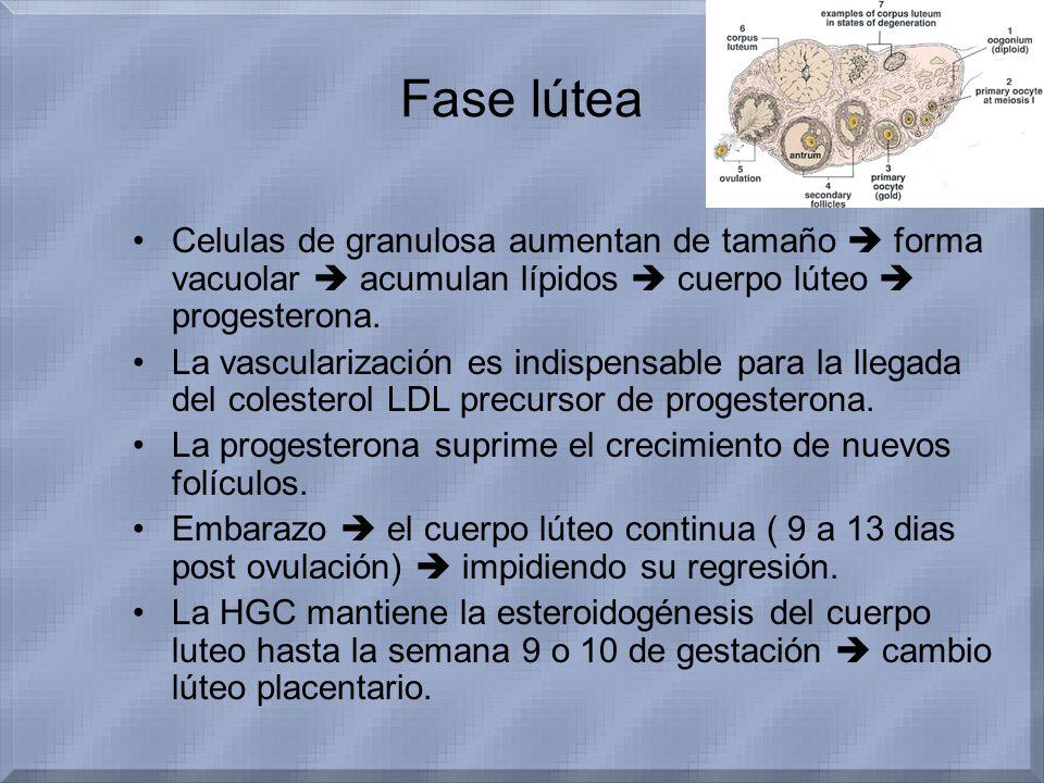 Fase lútea Celulas de granulosa aumentan de tamaño  forma vacuolar  acumulan lípidos  cuerpo lúteo  progesterona.
