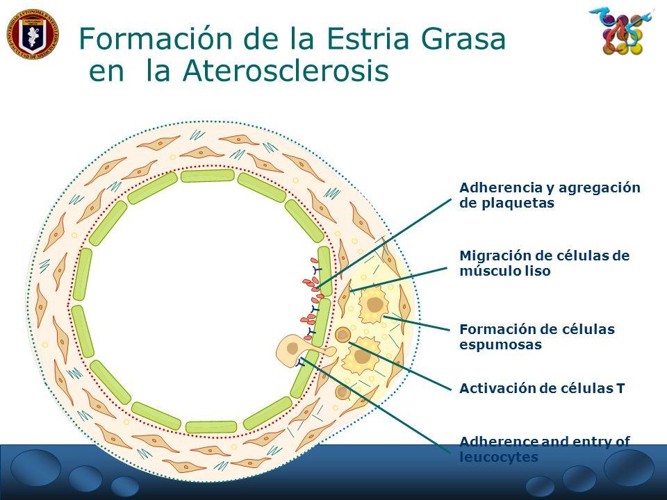 Formación de la Estria Grasa en la Aterosclerosis