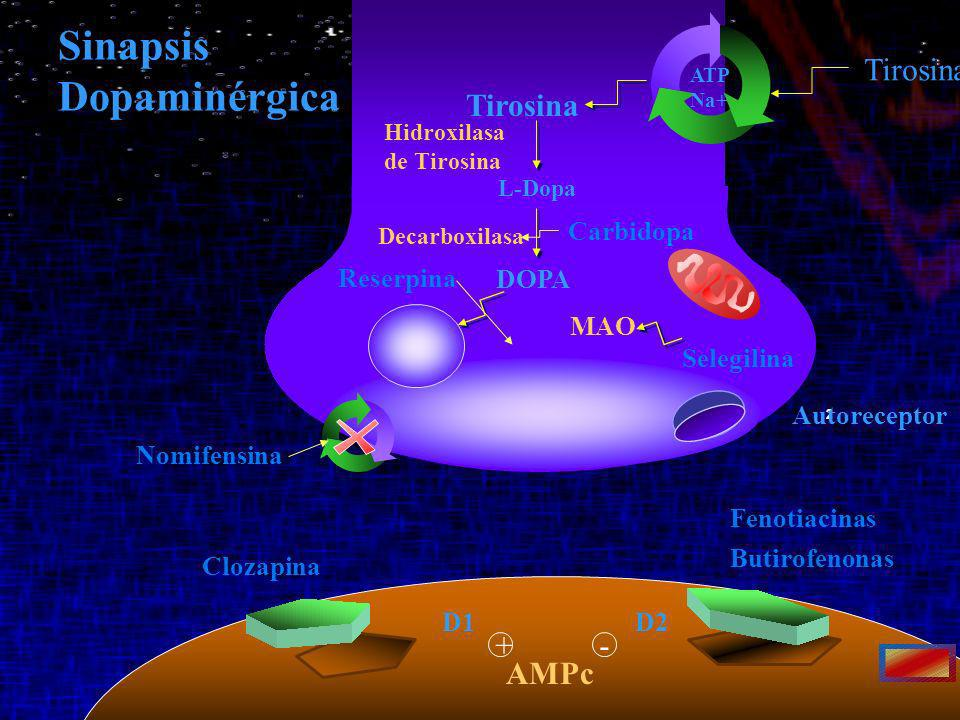Sinapsis Dopaminérgica Tirosina Tirosina + - AMPc Carbidopa Reserpina