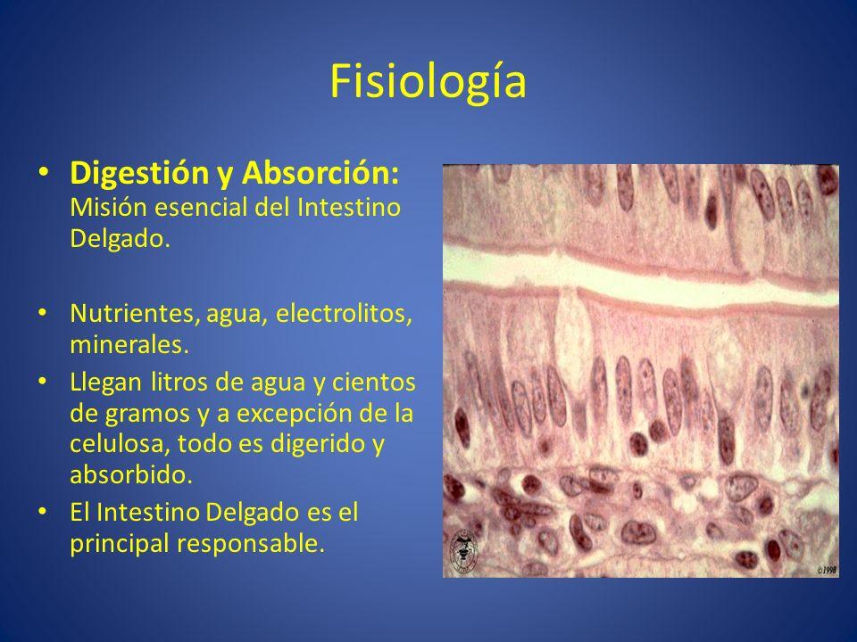 FisiologíaDigestión y Absorción: Misión esencial del Intestino Delgado. Nutrientes, agua, electrolitos, minerales.
