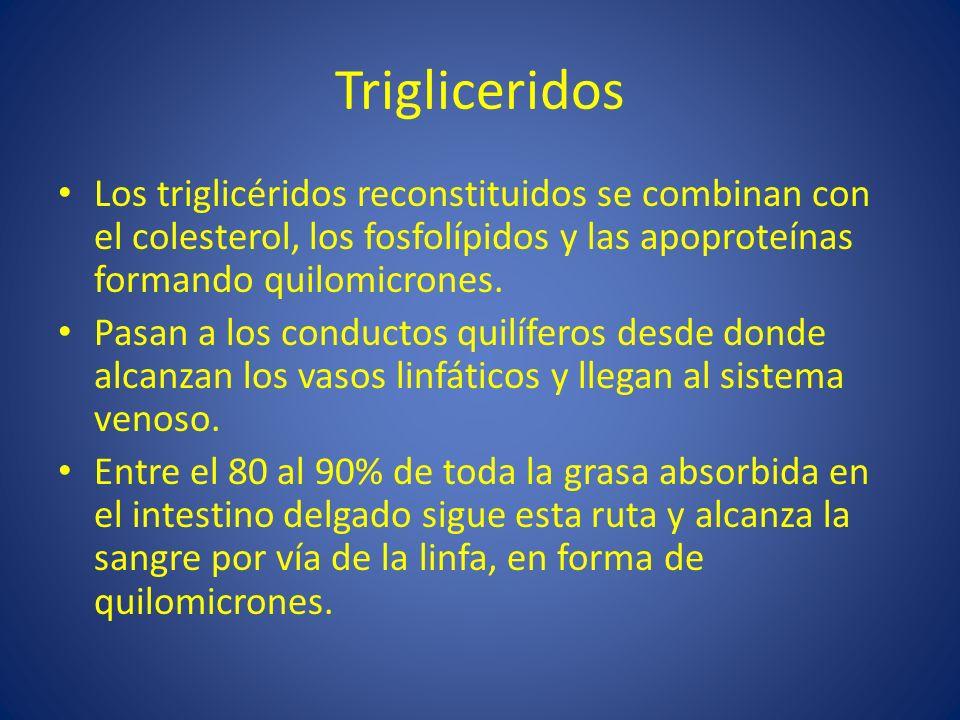 TrigliceridosLos triglicéridos reconstituidos se combinan con el colesterol, los fosfolípidos y las apoproteínas formando quilomicrones.