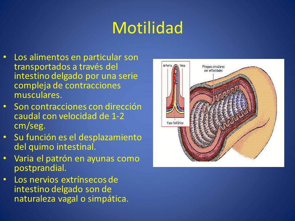MotilidadLos alimentos en particular son transportados a través del intestino delgado por una serie compleja de contracciones musculares.