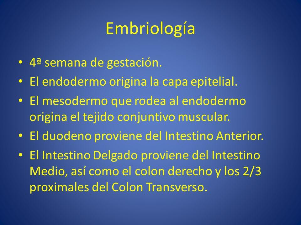 Embriología 4ª semana de gestación.