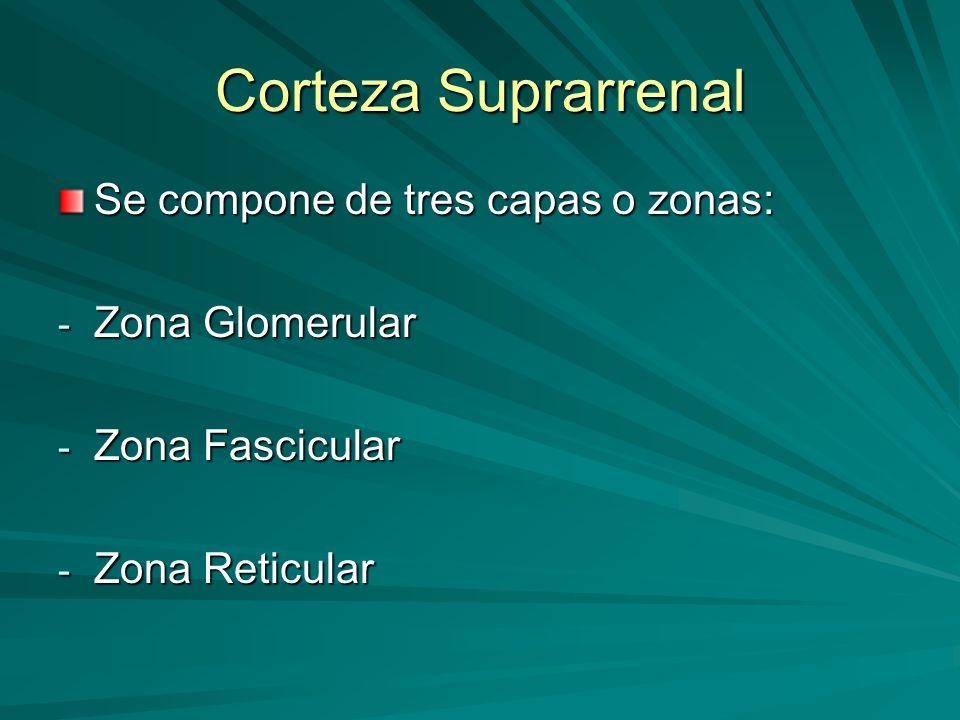 Corteza Suprarrenal Se compone de tres capas o zonas: Zona Glomerular