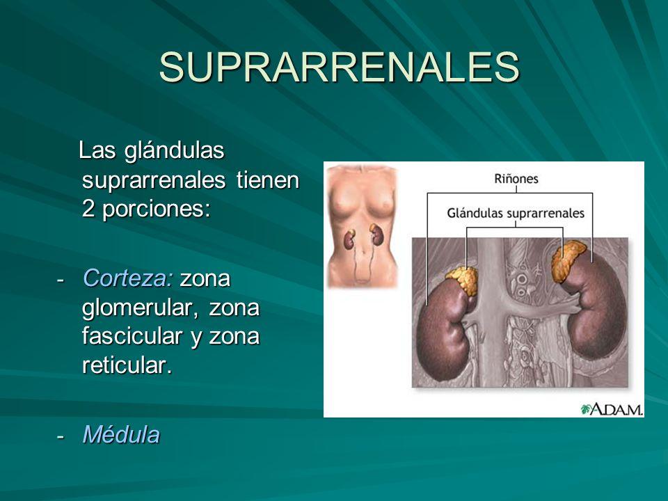 SUPRARRENALES Las glándulas suprarrenales tienen 2 porciones: