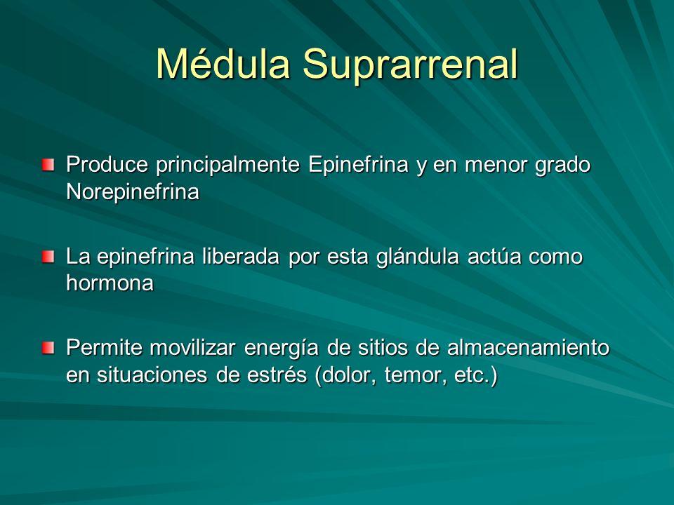 Médula Suprarrenal Produce principalmente Epinefrina y en menor grado Norepinefrina. La epinefrina liberada por esta glándula actúa como hormona.