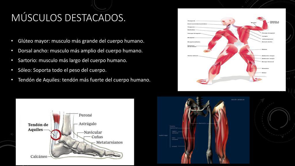 Lujoso Músculo Más Grande Del Cuerpo Cresta - Anatomía de Las ...