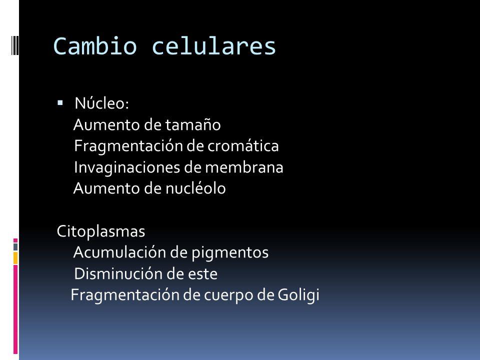 Cambio celulares Núcleo: Aumento de tamaño Fragmentación de cromática
