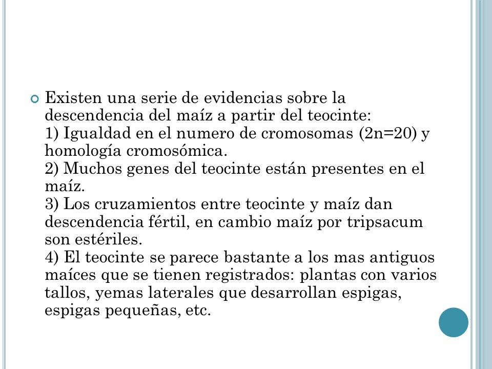 Existen una serie de evidencias sobre la descendencia del maíz a partir del teocinte: 1) Igualdad en el numero de cromosomas (2n=20) y homología cromosómica.