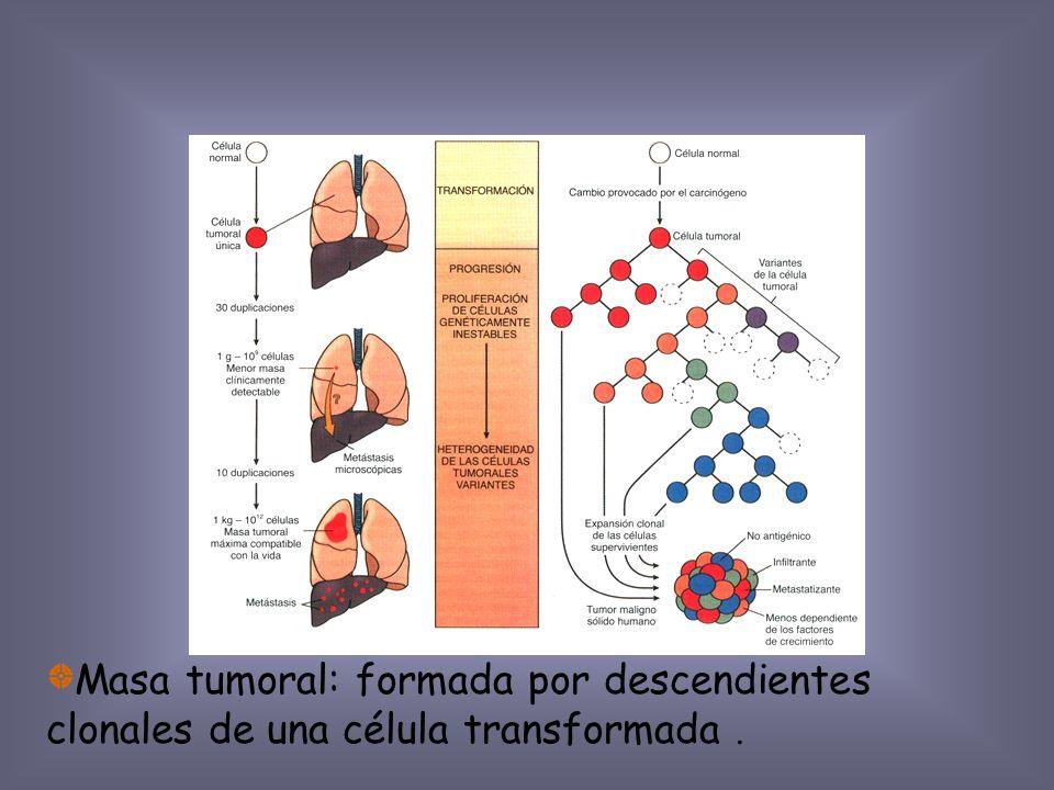 Masa tumoral: formada por descendientes clonales de una célula transformada .