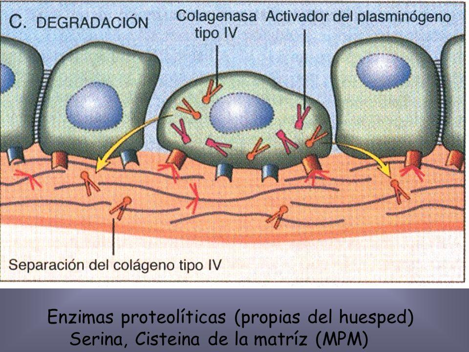 Enzimas proteolíticas (propias del huesped)
