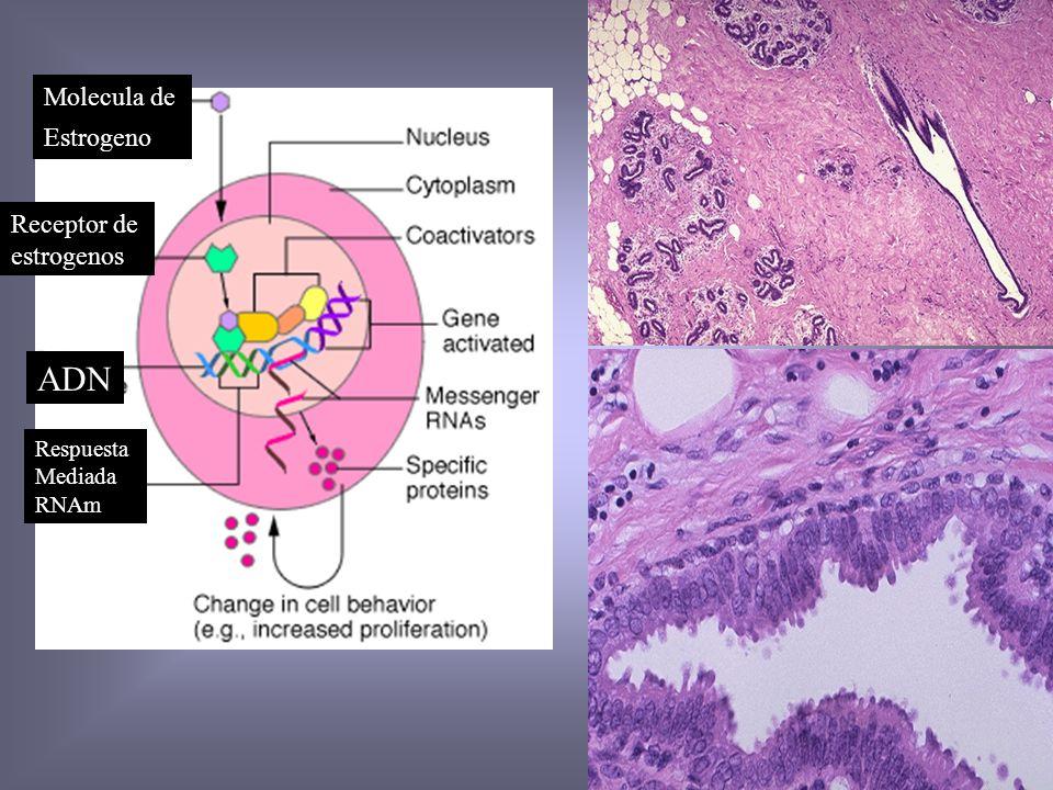 ADN Molecula de Estrogeno Receptor de estrogenos Respuesta Mediada