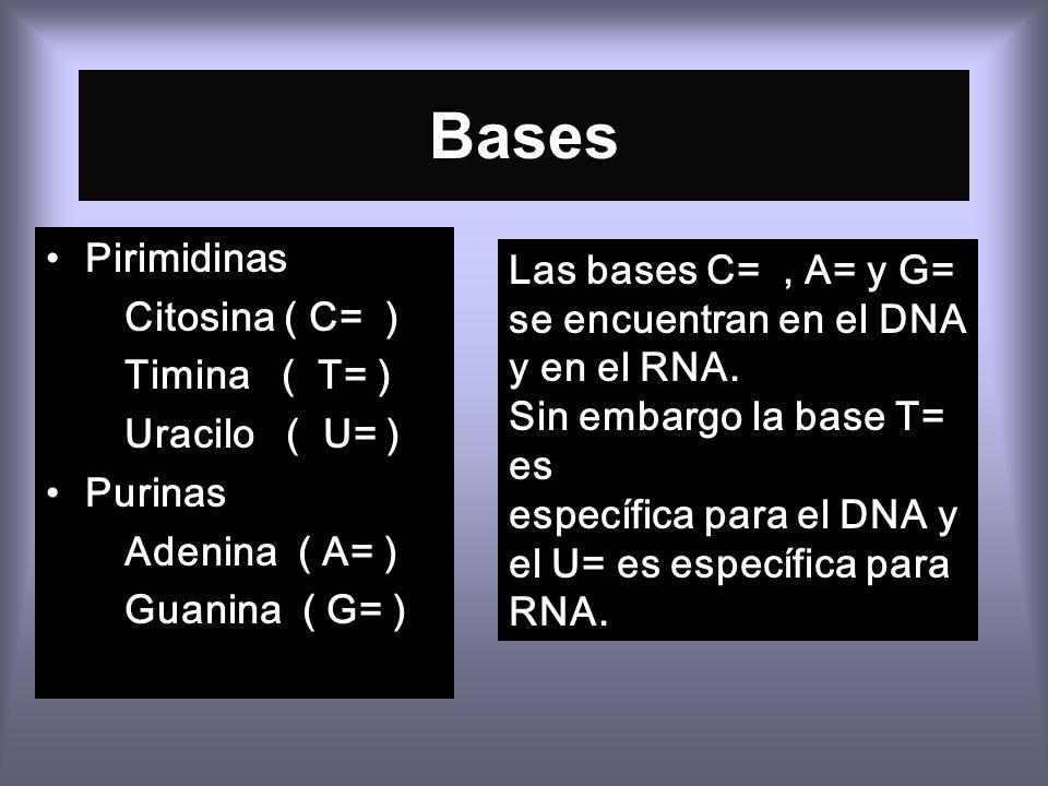 Bases Pirimidinas Las bases C= , A= y G= Citosina ( C= )