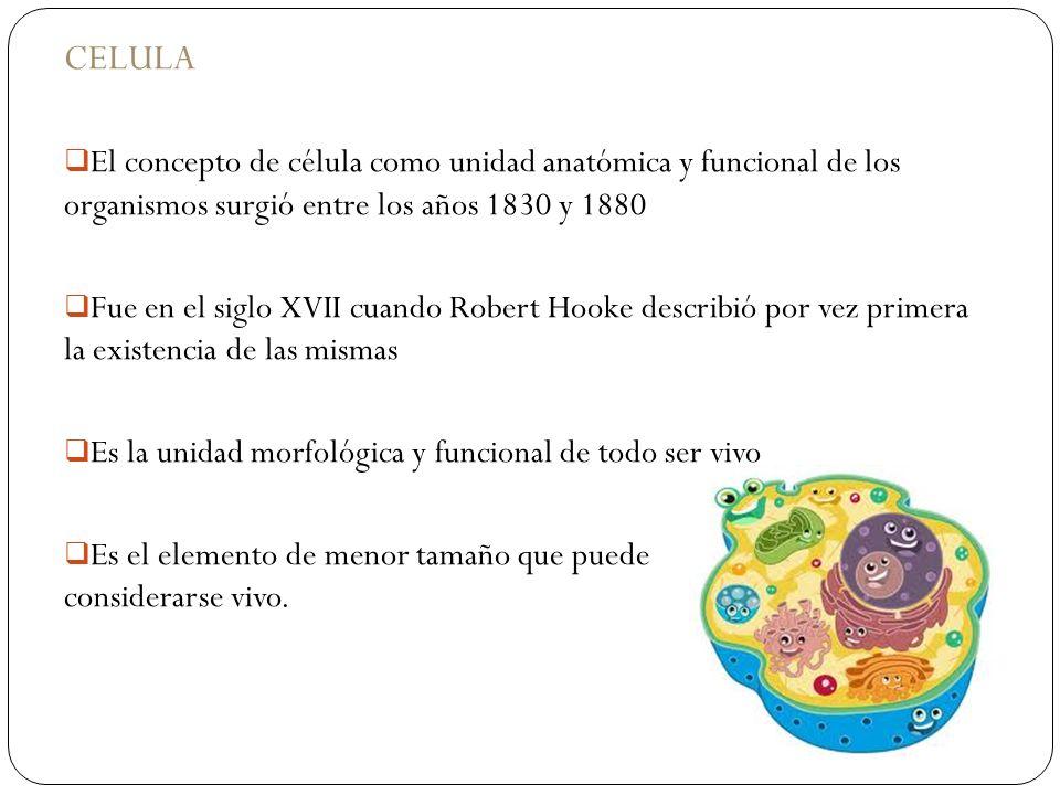 CELULAEl concepto de célula como unidad anatómica y funcional de los organismos surgió entre los años 1830 y 1880.