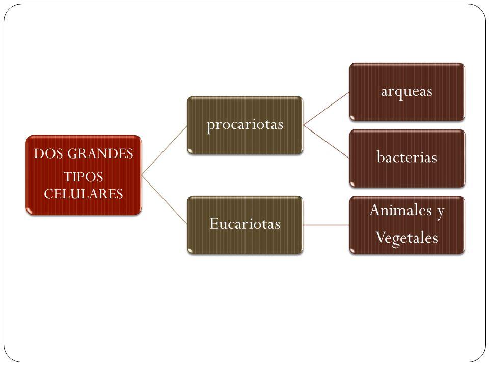 procariotas arqueas bacterias Eucariotas Animales y Vegetales