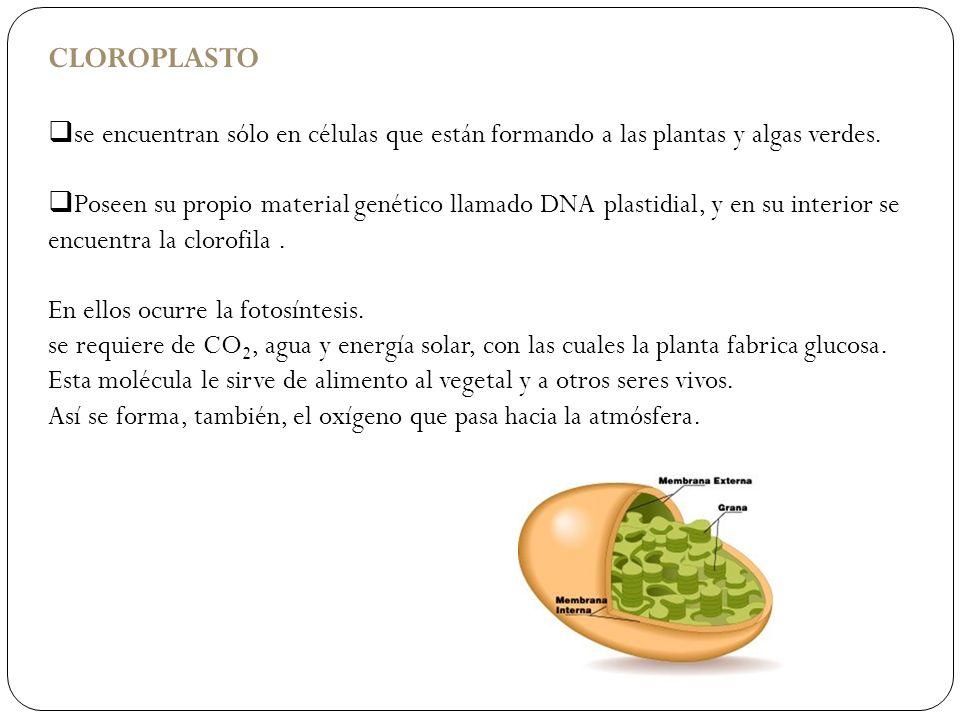 CLOROPLASTOse encuentran sólo en células que están formando a las plantas y algas verdes.