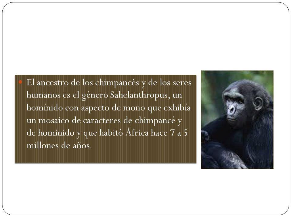 El ancestro de los chimpancés y de los seres humanos es el género Sahelanthropus, un homínido con aspecto de mono que exhibía un mosaico de caracteres de chimpancé y de homínido y que habitó África hace 7 a 5 millones de años.