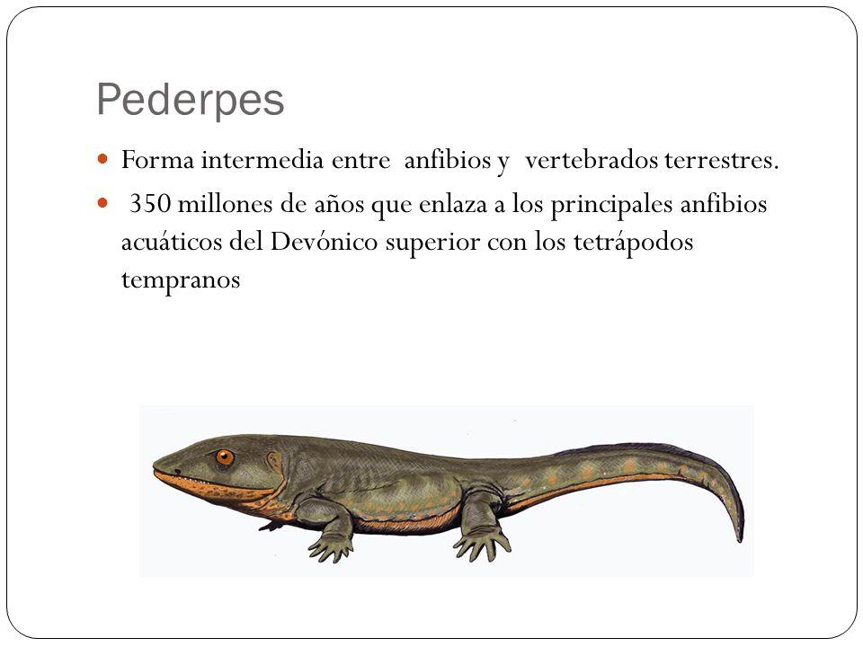 Pederpes Forma intermedia entre anfibios y vertebrados terrestres.