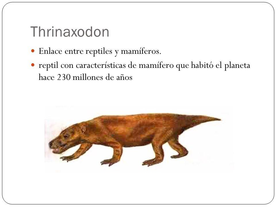 Thrinaxodon Enlace entre reptiles y mamíferos.