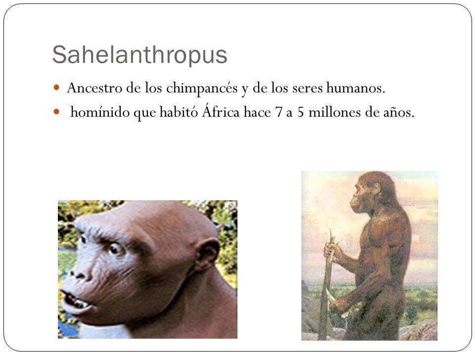 Sahelanthropus Ancestro de los chimpancés y de los seres humanos.
