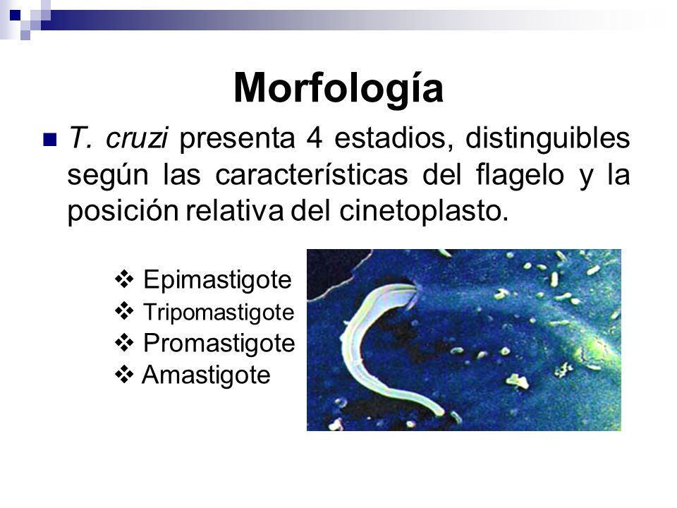 Morfología T. cruzi presenta 4 estadios, distinguibles según las características del flagelo y la posición relativa del cinetoplasto.