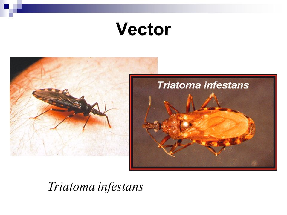 Vector Triatoma infestans