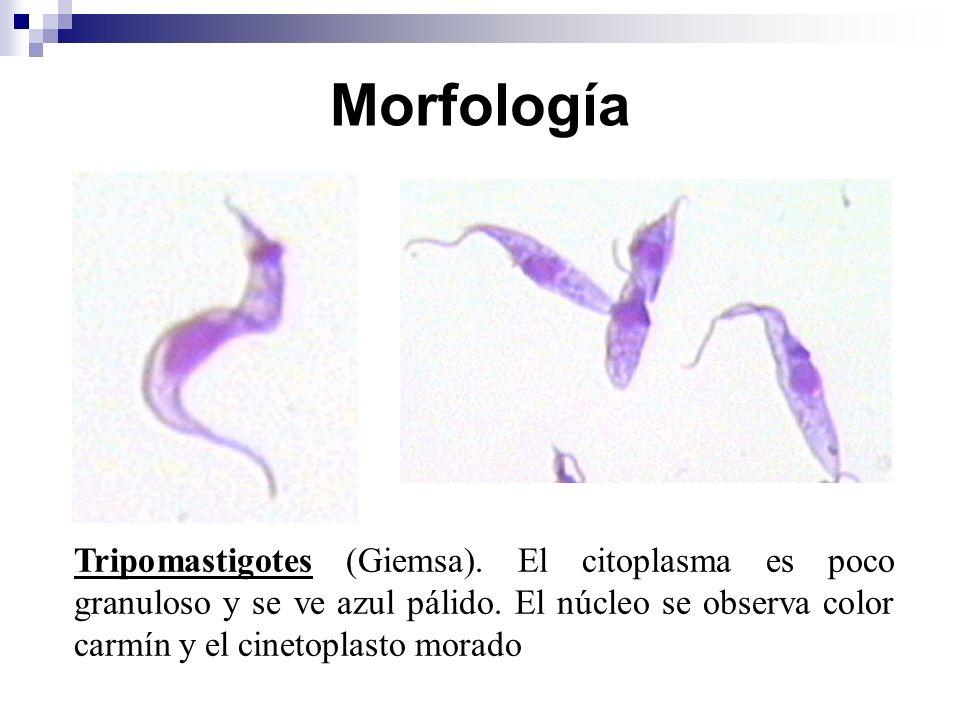 Morfología Tripomastigotes (Giemsa). El citoplasma es poco granuloso y se ve azul pálido.
