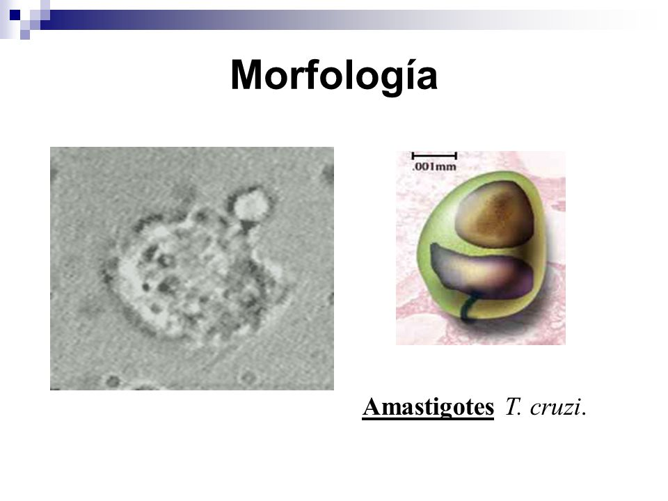 Morfología Amastigotes T. cruzi.