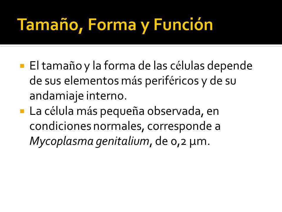 Tamaño, Forma y Función El tamaño y la forma de las células depende de sus elementos más periféricos y de su andamiaje interno.