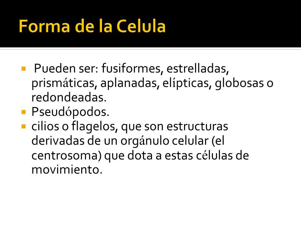 Forma de la Celula Pueden ser: fusiformes, estrelladas, prismáticas, aplanadas, elípticas, globosas o redondeadas.