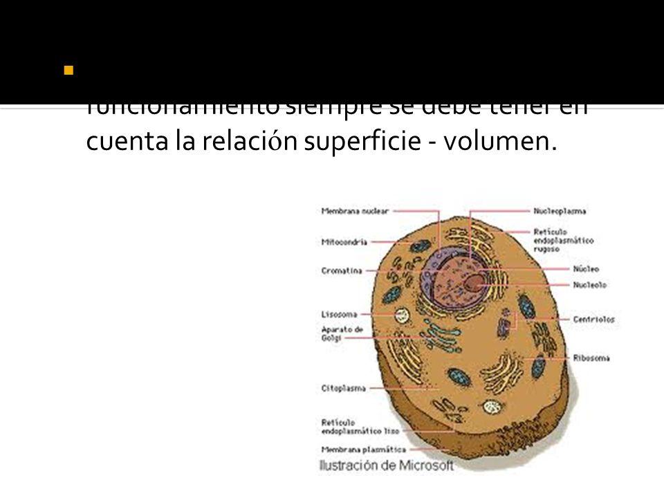 Para la viabilidad de la célula y su correcto funcionamiento siempre se debe tener en cuenta la relación superficie - volumen.