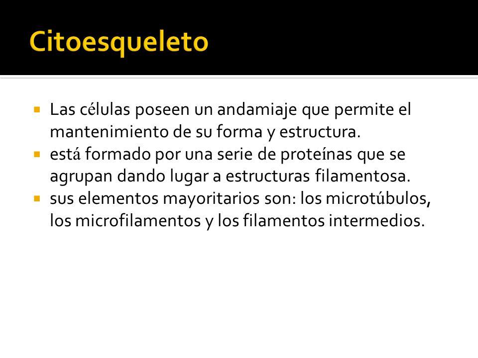CitoesqueletoLas células poseen un andamiaje que permite el mantenimiento de su forma y estructura.