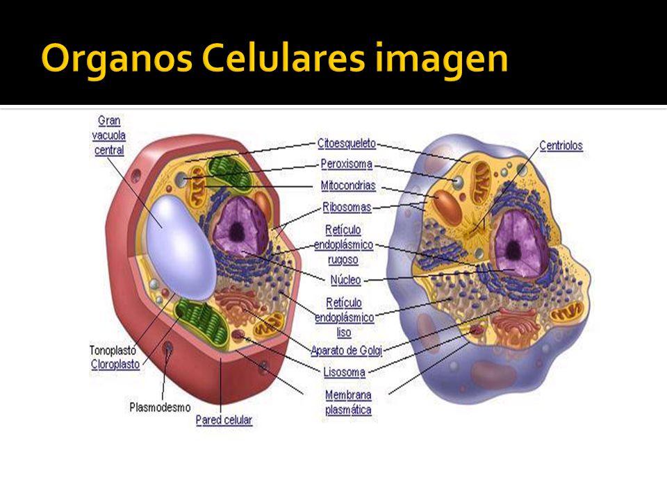 Organos Celulares imagen