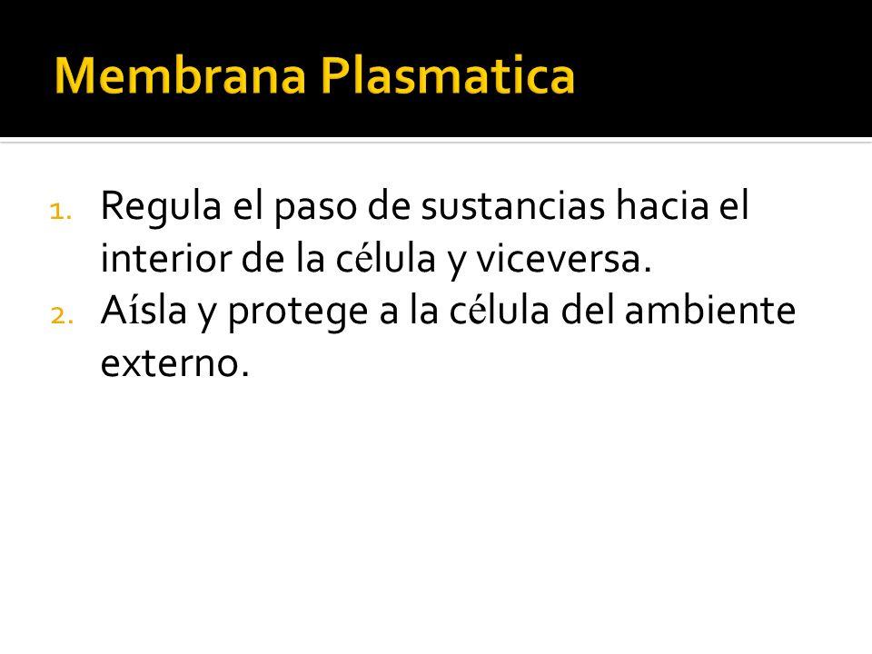 Membrana PlasmaticaRegula el paso de sustancias hacia el interior de la célula y viceversa.