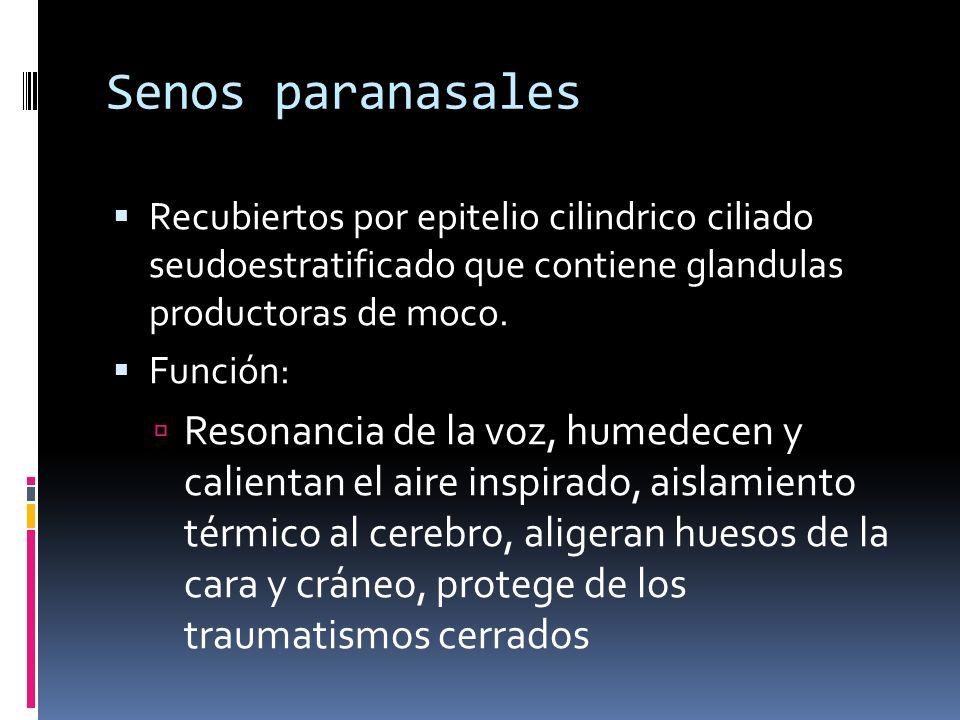Senos paranasales Recubiertos por epitelio cilindrico ciliado seudoestratificado que contiene glandulas productoras de moco.